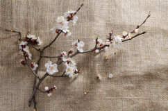 Fiori dell'albicocca ad aprile Fotografia Stock
