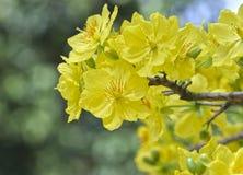 Fiori dell'albicocca che fioriscono durante il nuovo anno lunare del Vietnam fotografie stock libere da diritti