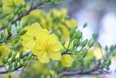 Fiori dell'albicocca che fioriscono durante il nuovo anno lunare del Vietnam fotografia stock