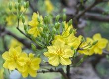 Fiori dell'albicocca che fioriscono durante il nuovo anno lunare del Vietnam immagine stock libera da diritti