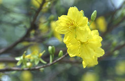 Fiori dell'albicocca che fioriscono durante il nuovo anno lunare del Vietnam immagini stock libere da diritti