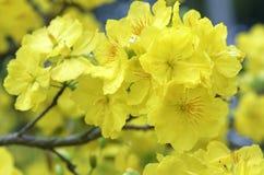 Fiori dell'albicocca che fioriscono durante il nuovo anno lunare del Vietnam immagine stock