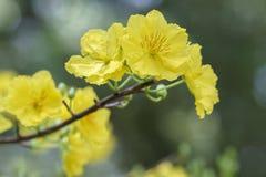 Fiori dell'albicocca che fioriscono durante il nuovo anno lunare del Vietnam fotografia stock libera da diritti