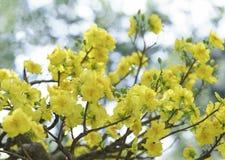 Fiori dell'albicocca che fioriscono durante il nuovo anno lunare del Vietnam fotografie stock