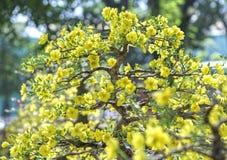Fiori dell'albicocca che fioriscono durante il nuovo anno lunare del Vietnam immagini stock