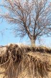 Fiori dell'albicocca della primavera Fotografia Stock Libera da Diritti