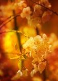Fiori dell'albicocca in piena fioritura Fotografie Stock Libere da Diritti