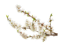 Fiori dell'albicocca su bianco senza ombra Fotografia Stock Libera da Diritti