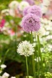 Fiori dell'allium in giardino Immagine Stock