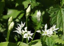 fiori dell'allium neapolitanum Immagine Stock
