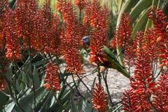 Fiori dell'aloe di Lorikeet dell'arcobaleno in rosso Fotografie Stock Libere da Diritti