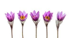 Fiori dell'anemone della primavera isolati Fotografia Stock