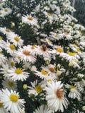 Fiori dell'ape della margherita Immagini Stock