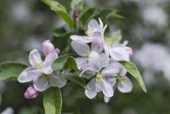 Fiori dell'Apple-albero su fondo confuso verde Fotografia Stock Libera da Diritti