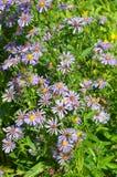Fiori dell'aster alpino in fioritura Immagine Stock