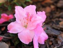 Fiori dell'azalea Fotografia Stock