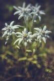 Fiori dell'edelweiss Fotografia Stock