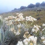 Fiori dell'edelweiss Fotografia Stock Libera da Diritti