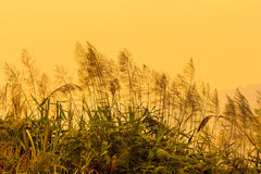 Fiori dell'erba Immagine Stock Libera da Diritti