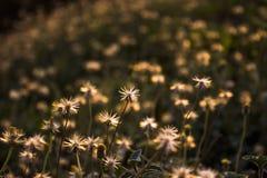 Fiori dell'erba Fotografia Stock Libera da Diritti