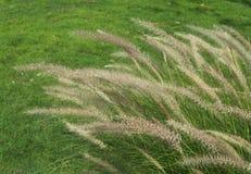 Fiori dell'erba che assomigliano ad una nappa bianca immagine stock libera da diritti