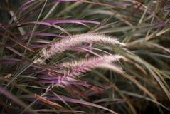 Fiori dell'erba con erba magenta Fotografia Stock