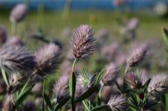 Fiori dell'erba di Rosa sul campo Fotografie Stock Libere da Diritti