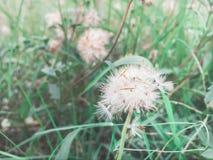 Fiori dell'erba di tridax procumbens Immagine Stock Libera da Diritti