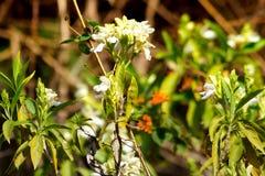 Fiori dell'erba e fiori di salto di mente bianca Fotografie Stock Libere da Diritti