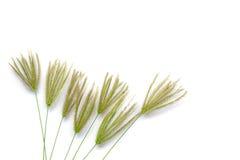 Fiori dell'erba isolati Immagine Stock
