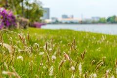 Fiori dell'erba nel parco pubblico immagine stock