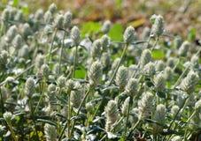 Fiori dell'erba selvatica Fotografia Stock
