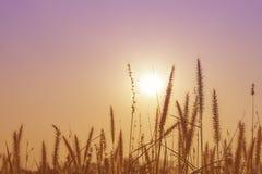Fiori dell'erba sul tramonto Immagini Stock