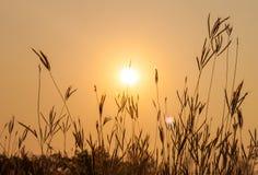 Fiori dell'erba sul tramonto Immagine Stock