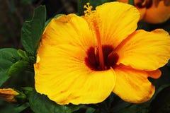 Fiori dell'ibisco - fiore giallo in natura Fotografia Stock Libera da Diritti