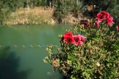 Fiori dell'ibisco lungo Jordan River immagine stock