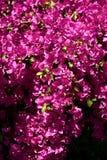 Fiori dell'India nel giardino Immagini Stock