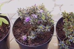 Fiori dell'interno di radodendron in vasi da fiori Trapianto di Fotografia Stock Libera da Diritti