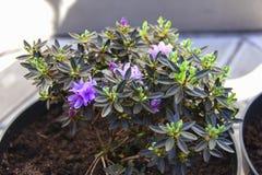 Fiori dell'interno di radodendron in vasi da fiori Trapianto di fotografie stock libere da diritti
