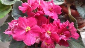 Fiori dell'interno sboccianti/fiore viola/bello sbocciare/ fotografia stock libera da diritti