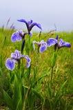 Fiori dell'iride della bandierina blu Fotografia Stock Libera da Diritti