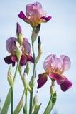 Fiori dell'iride lilla fotografia stock libera da diritti
