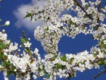 Fiori dell'mela-albero Immagini Stock