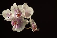 Fiori dell'orchidea Fotografia Stock