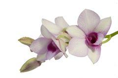 Fiori dell'orchidea Fotografie Stock