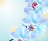 Fiori dell'orchidea blu Immagine Stock Libera da Diritti