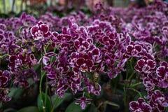 Fiori dell'orchidea del fondo di giorno di S. Valentino di celebrazione bei dentro Immagini Stock