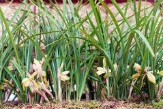 Fiori dell'orchidea della barca o del Cymbidium Immagini Stock
