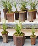 Fiori dell'orchidea della barca o del Cymbidium Fotografia Stock Libera da Diritti