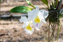 Fiori dell'orchidea di Catalyya in giardino immagini stock libere da diritti